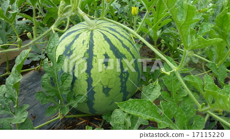 watermelon 17115220