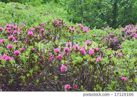 알프스 3 대 꽃 알펜 로제 수풀 17120166