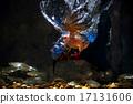 Blue-eared Kingfisher - Male 17131606
