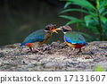 Mangrove Pitta Feeding 17131607