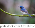 Tickell's Blue Flycatcher 17131612
