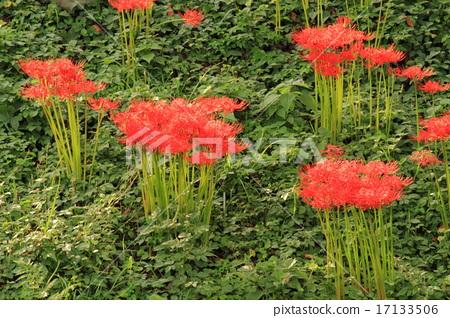 피안 꽃 17133506
