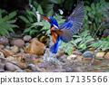 Blue-eared Kingfisher (male) 17135566