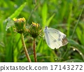 white butterfly and the dandelions 17143272