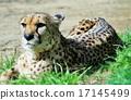 肉食動物 獵豹 豹子 17145499