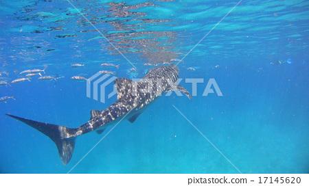 Whale shark sea Nature wild underwater photograph 17145620