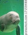 儒艮 游泳 哺乳动物 17159488
