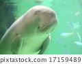 儒艮 动物 哺乳动物 17159489