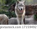 白色和黑色的辛林狼 17159492