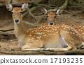 wildlife, mammal, deer 17193235