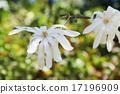 star, magnolia, magnoliaceae 17196909