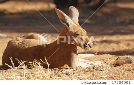 Red Kangaroo, Australia 17204001