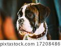 portrait, boxer, animal 17208486