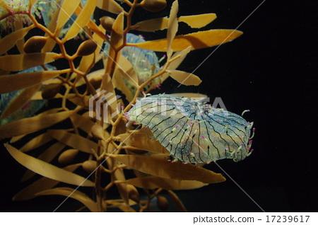 Hanagasa jellyfish 17239617
