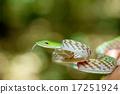 Asian Vine Snake (Ahaetulla prasina) 17251924