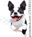 Terrier Boston 17258031