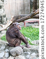 chimpanzee sitting on the rock beside the pool. 17274945
