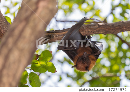 Flying foxes hanging on a tree. 17274972