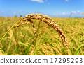paddy, field, ebro 17295293