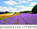 ลาเวนเดอร์,ดอกไม้,ฤดูร้อน 17299708