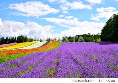 lavander, lavender, farm tomita 17299708