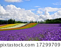 lavander, lavender, farm 17299709