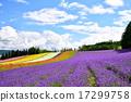 lavander, lavender, farm 17299758