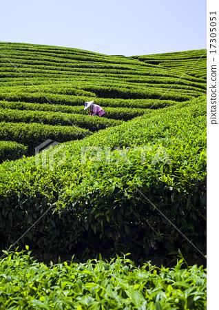 綠色的茶園 17305051