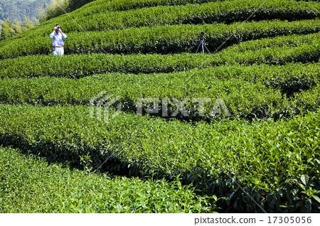 綠色的茶園 17305056