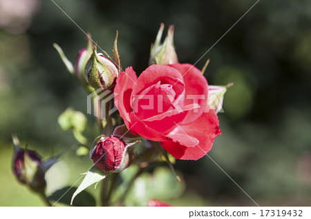 Beautiful red rose on the flowerbed 17319432