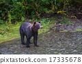 wild, animal, bear 17335678