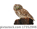 owl, wildlife, alert 17352946
