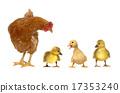 母雞 培育 幼兒 17353240