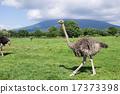 鴕鳥 牲畜 家畜 17373398