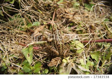 Tonosaura frog 17383538