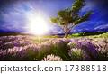 lavender, bloom, scenery 17388518