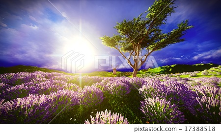 Lavender fields 17388518