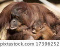 오랑우탄, 보르네오, 타마 동물원 17396252