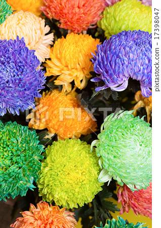 Dyed Chrysanthemum Flower Stock Photo 17398047 Pixta