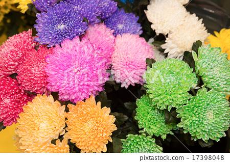 Dyed Chrysanthemum Flower Stock Photo 17398048 Pixta