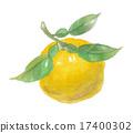 柚子(小柑橘類水果) 水彩畫 水彩 17400302