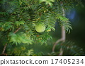 榧 (오카야마)의 열매 17405234