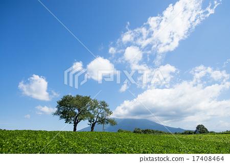 Twin cherry tree (Niseko) 17408464