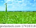 paddy, field, ebro 17416318