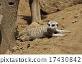 狐獴 非洲 熱 17430842