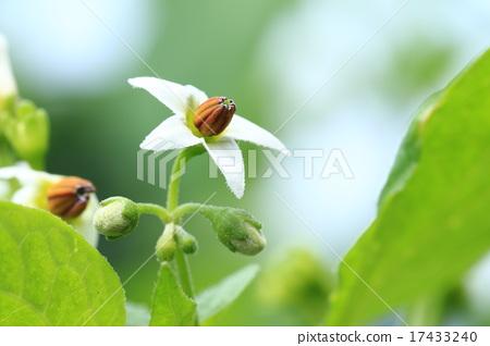garden huckleberry, close up, close-up - Stock Photo [17433240] - PIXTA