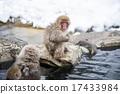온천에 들어가는 원숭이지고 쿠 다니 야생 원숭이 公苑 17433984