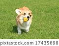 威爾士矮腳狗 狗狗 狗 17435698