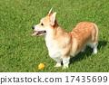 威爾士矮腳狗 狗狗 狗 17435699