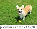 威爾士矮腳狗 動物 狗狗 17435703